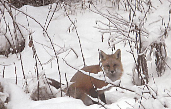 Image of Red Fox taken by Kathy Weiand